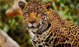 Los-jaguares