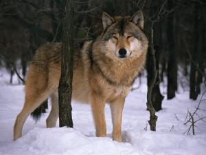 lobo-nieve