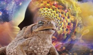 Colorado River Toad – FATHER FIRE